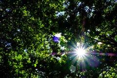 De zon glanst warm door de luifel van bomen in het hout Stock Afbeelding