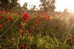 De zon heft over gebied van rode bloemen op, anemoon stock fotografie