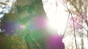 De zon` s stralen door de boom Het bos van de pijnboom in de herfst stock videobeelden