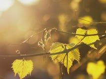 De zon` s stralen maken hun manier door de bladeren van druiven Royalty-vrije Stock Fotografie