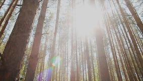 De zon` s stralen maken hun manier door de boomstammen van sparren in het bos stock videobeelden