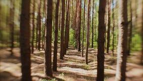 De zon` s stralen maken hun manier door de boomstammen van sparren in het bos stock footage