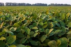 De zon stak verse groene sojapeulen en bladeren aan royalty-vrije stock foto