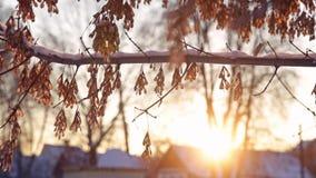 De zon van de esdoornwinter stock videobeelden