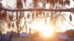 De zon van de esdoornwinter stock footage