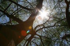 De zon van de middag door een mesquiteboom Stock Afbeeldingen