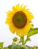 De zonbloem op het gebied Royalty-vrije Stock Afbeelding