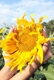 De zonnebloem Royalty-vrije Stock Afbeeldingen
