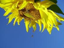 De zonnebloem Royalty-vrije Stock Foto