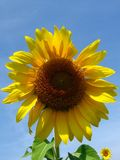De zonnebloem stock afbeeldingen