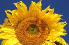 De zonnebloem royalty-vrije stock fotografie