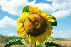 De zonnebloem Royalty-vrije Stock Afbeelding