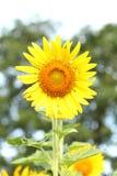 De zonnebloem bij het bloeien is geel in breed gebiedsland royalty-vrije stock afbeelding
