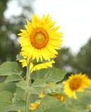 De zonnebloem bij het bloeien is geel in breed gebiedsland stock afbeeldingen