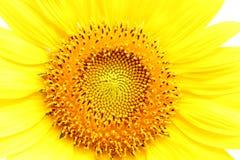 De zonnebloem bij het bloeien is geel in breed gebiedsland royalty-vrije stock foto's