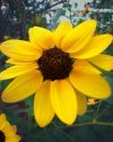 De zonnebloem bloeide in de zomer in tuin stock afbeeldingen