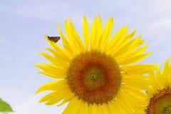 De zonnebloem is bloeiend op tuin Royalty-vrije Stock Afbeelding