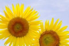 De zonnebloem is bloeiend op tuin Royalty-vrije Stock Fotografie