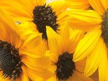 De zonnebloem bloeit achtergrond Royalty-vrije Stock Afbeelding