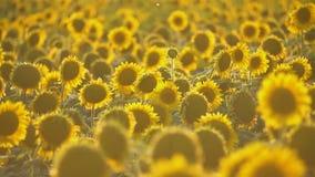 De zonnebloem bloeit close-up stock footage