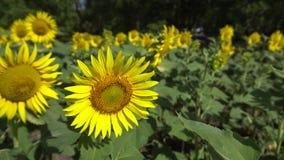 De zonnebloem bloeit het groeien in de zomer op een gebied langs de weg in een dorp dichtbij de stad stock footage