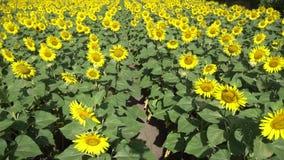 De zonnebloem bloeit het groeien in de zomer op een gebied langs de weg in een dorp dichtbij de stad stock videobeelden