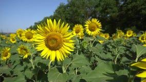De zonnebloem bloeit het groeien in de zomer op een gebied langs de weg in een dorp dichtbij de stad stock video