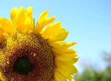 De zonnebloem is een symbool van eenheid, rechtvaardigheid, welvaart en zonlicht royalty-vrije stock afbeeldingen