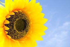 De zonnebloem en de blauwe hemel Royalty-vrije Stock Foto's