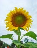 De zonnebloem en de hemel zijn de kleine stam van de gebiedsheuvel Royalty-vrije Stock Foto's