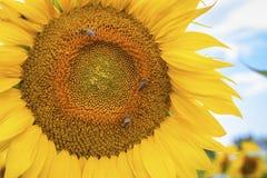 De zonnebloem en de insecten sluiten omhoog de Achtergrond van Aardbloemen Stock Afbeelding