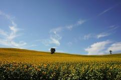 De zonnebloem fied in Italië stock foto's