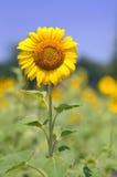 De zonnebloem groeit op een Gebied in Lexington, Sc Royalty-vrije Stock Foto's