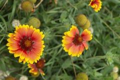 De zonnebloem Helianthus groeit in tuin royalty-vrije stock fotografie