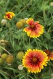 De zonnebloem Helianthus groeit in tuin stock foto's