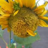 De zonnebloem in het park Royalty-vrije Stock Afbeelding