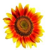De zonnebloem isoleerde wit Royalty-vrije Stock Foto