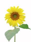 De zonnebloem isoleert Royalty-vrije Stock Afbeeldingen