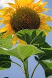De zonnebloem kijkt van onderaan Royalty-vrije Stock Fotografie