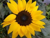 De zonnebloem met gele bloemblaadjes bloeide stock foto's