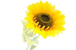 De zonnebloem met stam Stock Foto's