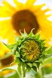 De zonnebloem van de bloei Royalty-vrije Stock Foto's