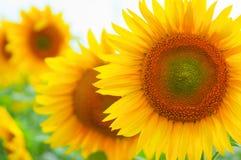 De zonnebloem van de close-up Royalty-vrije Stock Fotografie