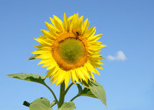 De zonnebloem van de close-up op het gebied Stock Foto's