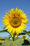 De zonnebloem van de close-up op het gebied Stock Afbeelding