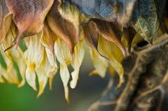 De Zonnebloem van de herfst stock fotografie