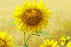 De zonnebloembloesems stock afbeeldingen