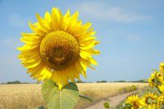 De zonnebloembloesems royalty-vrije stock foto's