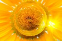 De zonnebloemen in het effect van de glasbal met vage Zon bloeit gebiedsachtergrond Royalty-vrije Stock Afbeelding
