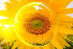 De zonnebloemen in het effect van de glasbal met vage Zon bloeit gebiedsachtergrond Stock Fotografie